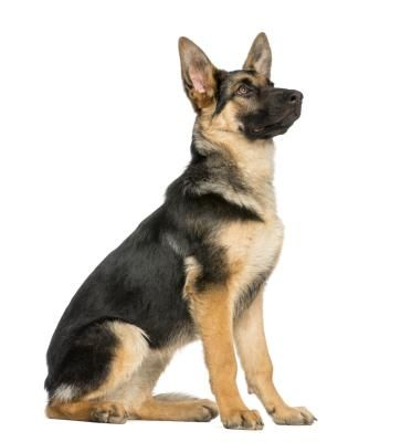 How to Tell a Purebred German Shepherd