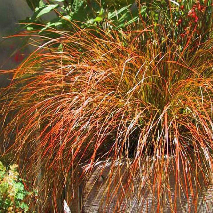 "Carex testacea (Orange New Zealand Sedge) 'Prairie Fire/Indian summer'   Part/full shade, 24""H x 18-24""W, well-drained average soil, deer resistant, zones 5-9"