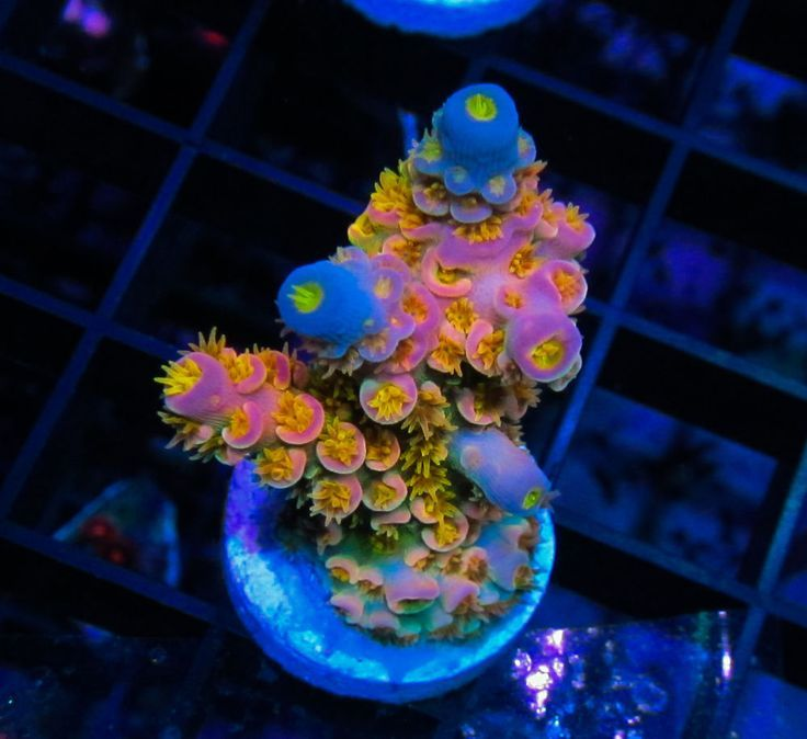1000+ ideas about Sps Coral on Pinterest | Coral reefs, Sea ...