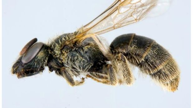 #The Sable Island sweat bee, and 10 other species, named at-risk in Nova Scotia - CTV News: CTV News The Sable Island sweat bee, and 10…