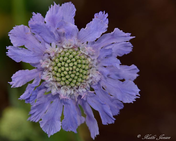 The beauty of pincushion flower.  Print available for purchase on etsy.com at natureartgallery.