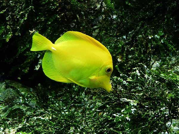 Yellow Tang Caring For This Saltwater Fish In A Reef Tank In 2020 Saltwater Aquarium Fish Fish Aquariums For Sale