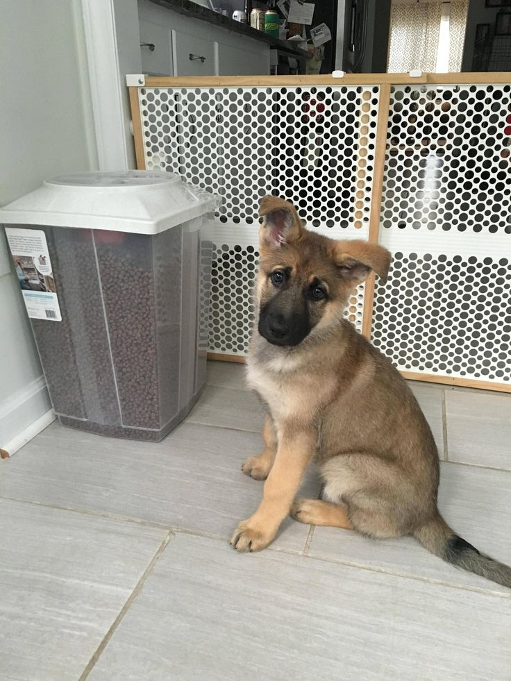 Meet Tonks, our 10 week old sable! German shepherd