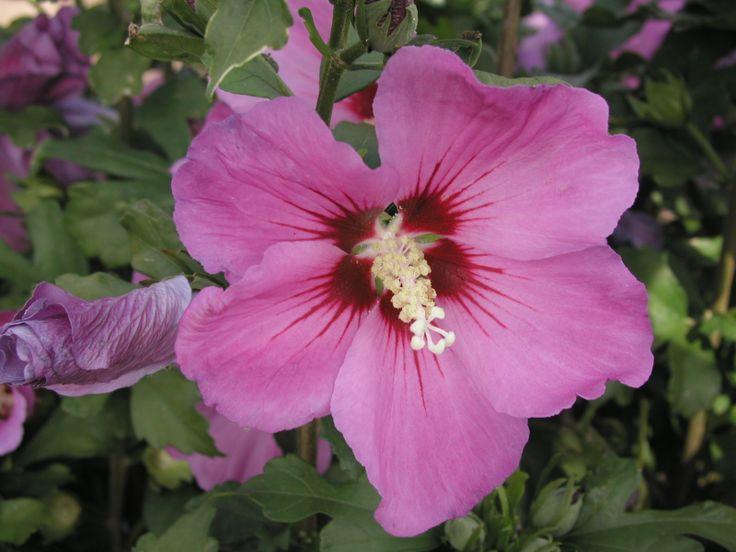 les 25 meilleures id es de la cat gorie arbuste a fleur rose sur pinterest arbuste fleur rose. Black Bedroom Furniture Sets. Home Design Ideas