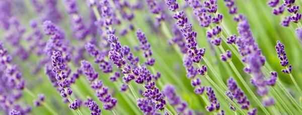 **UPDATED JULY 9, 2017 **It's lavender seasonand we have plenty of lavender plants available for sale. These are the same varieties we grow in our fields and are hardy to our zone. We are open 7 d...
