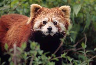 Kleine panda ofwel rode panda