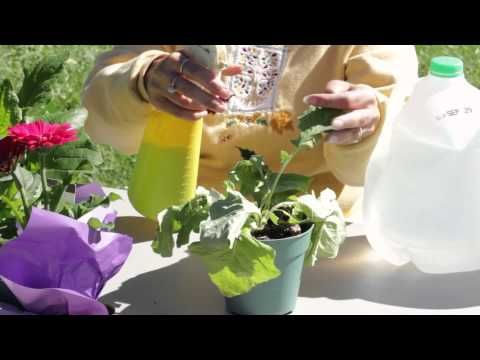 How to Get Rid of White Mold on Gerbera Daisies : Gerbera Plant Care - YouTube