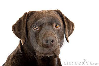 Retrato De Labrador Marrom Fotos de Stock - Imagem: 11807263