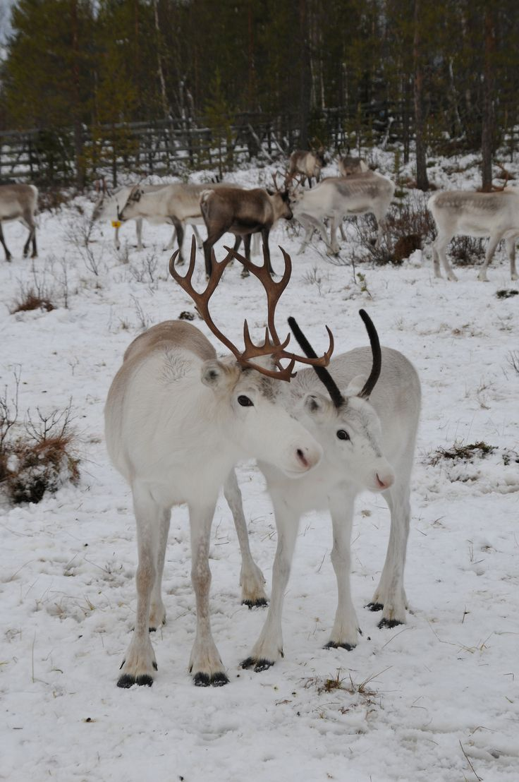 Sven's relatives - who does not love reindeer babies!  Reindeer babies, Finland