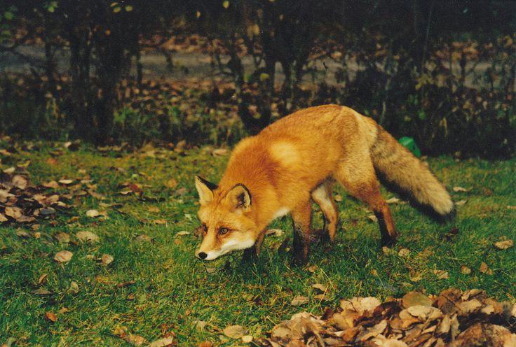 FOX ( E L )