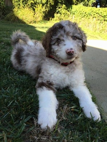 """How to Teach your dog """"Leave It"""" in 3 Easy Steps- Aussiedoodle and Labradoodle Puppies 
