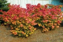 Dwarf Burning #Bush. Their interesting winged bark provides contrast in winter gardens. Low Maintenance. For more details, visit us at: http://www.sheridannurseries.com/plant_product_view?TR0097