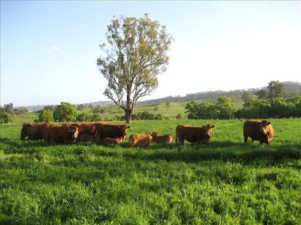 Herd of Limousin Cattle Wiangaree Back Road, KYOGLE