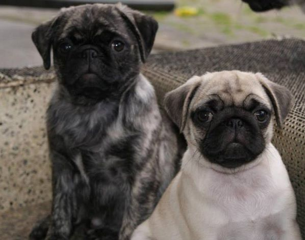 Cute Brindle & Fawn Pug Puppies