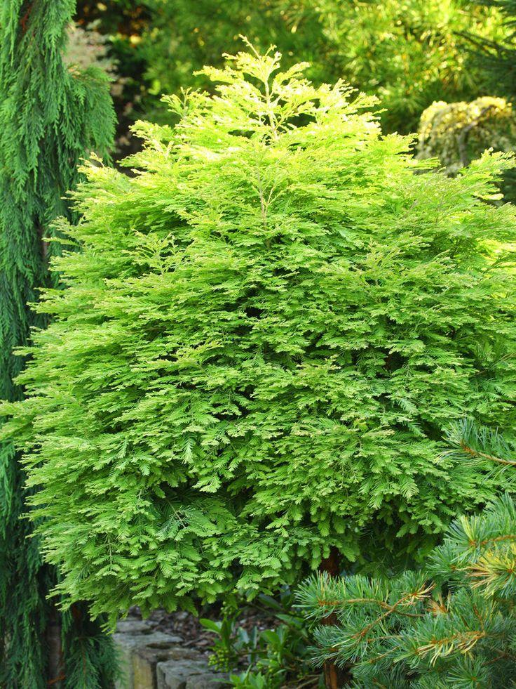 12 best deciduous conifers images on pinterest dwarf for Garden deciduous trees