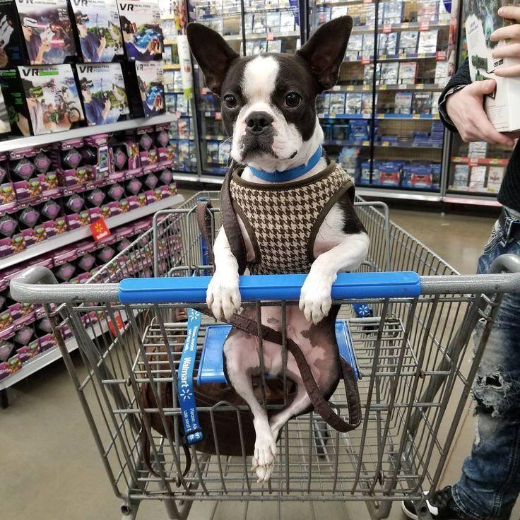 T-shirt, legging, hoodie for Boston Terrier lovers. Order here: https://www.sunfrog.com/JohnyD/bostonterrier-shirts