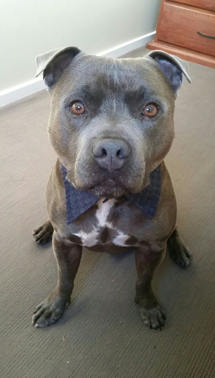 Staffordshire english bull terrier  blue fawn male staffy  Beautiful face  perfect family pet. 395 best Storm the Staffordshire Staffy images on Pinterest