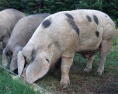Glouchestershire Old Spots pig, aka the Orchard Pig, was raised on windfall apples. Hardy, sweet-natured hogs and outstanding foragers. Produce sweet-tasting, well-marbled, exceptionally flavorful pork, including large hams. Still being raised by the British royal family today.