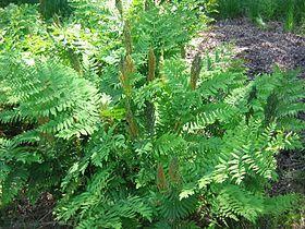 Schaduwplanten | Koningsvaren