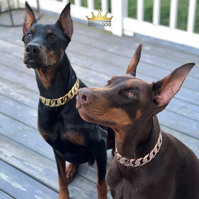 Pin By Herminia Santiago On Bugsy In 2020 Luxury Dog Collars