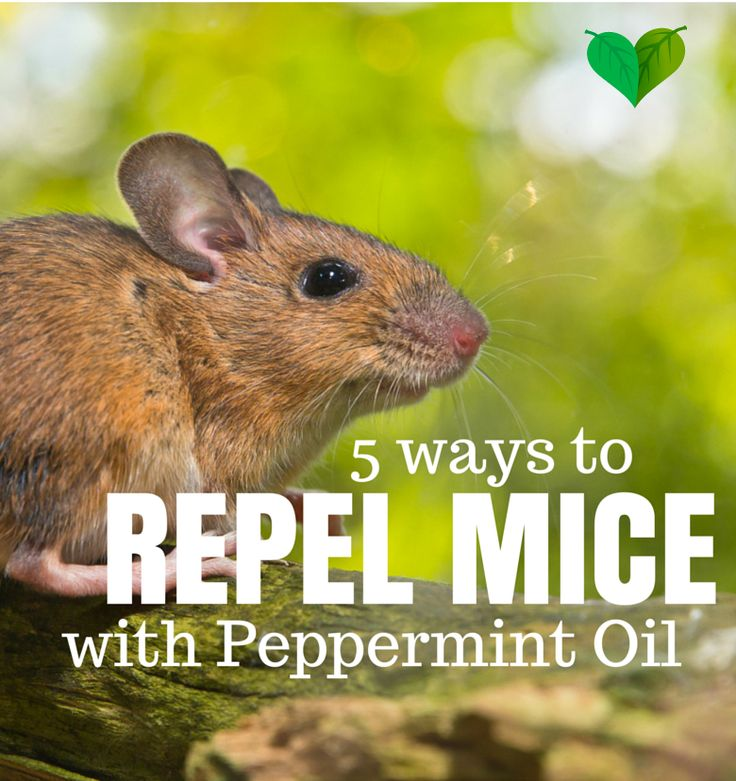 Learn how to get rid of mice naturally! Try this cheap and easy home remedy with Peppermint oil and mice will run! Read now about a natural mouse repellent: