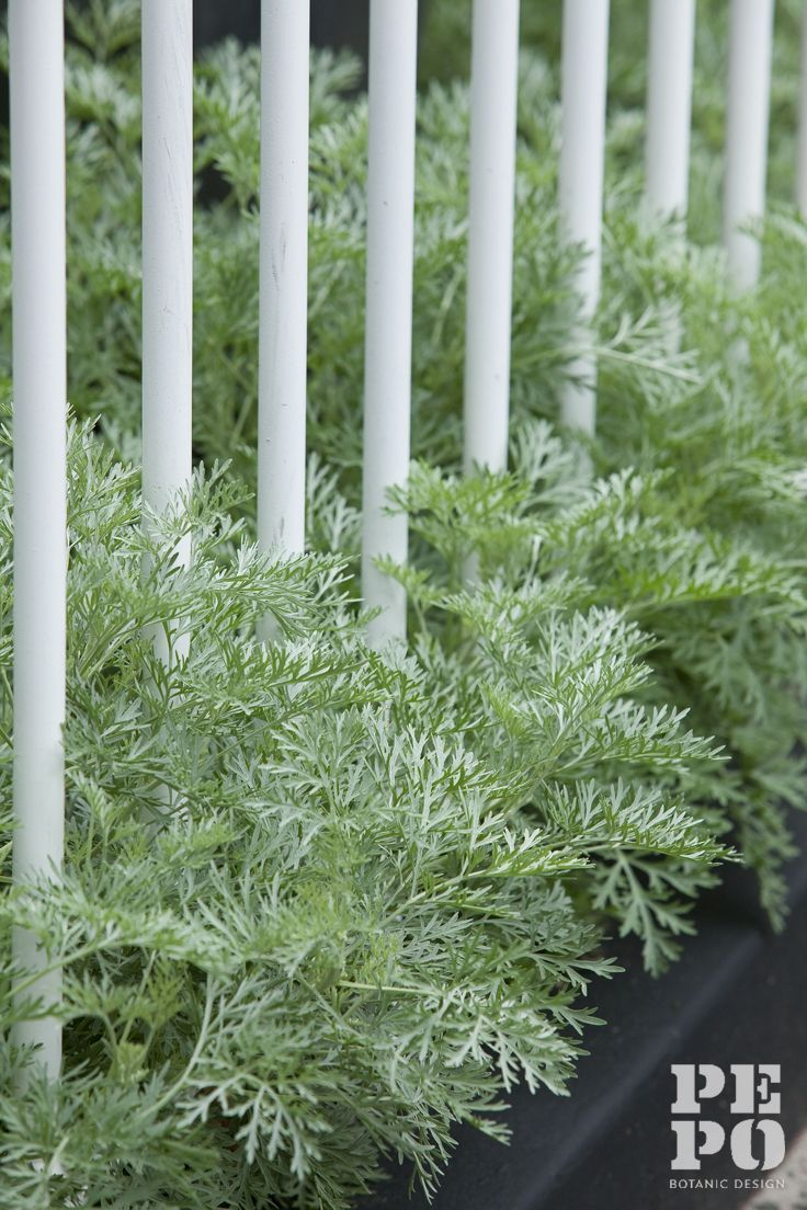 Artemisia spilling through front garden fence By Pepo Botanic Design