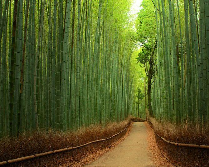 Бамбуковая тропа, Япония  Бамбуковая роща в районе города Киото в Японии — место, полное умиротворения и таинственности. Через нее ведет живописная дорожка длиной в 300 метров, отгороженная забором из стеблей деревьев.