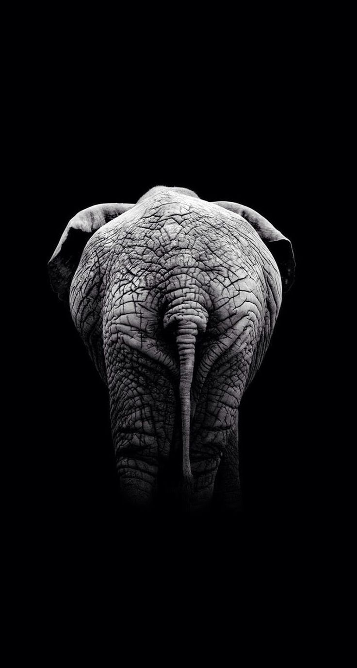 elephant iphone background 1000 images about iphone wallpapers black on 7023