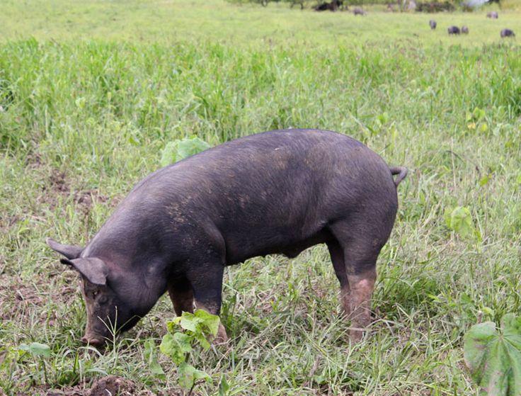 Meats: Cuts | Ham | Prosciutto and Speck | La Quercia Rossa ...
