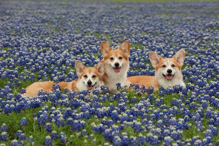 The Daily Corgi: Saturday #Corgi Smilers: 16 Beauties in Bluebonnets!