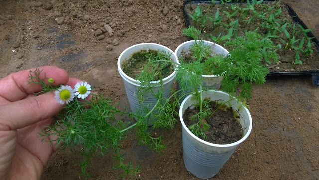 Your Chamomile Seedlings Should Be Kept In A Sunny Spot Until Its Time To Transplant Them Harden Off Your Seed Chamomile Growing Planting Herbs Chamomile Lawn