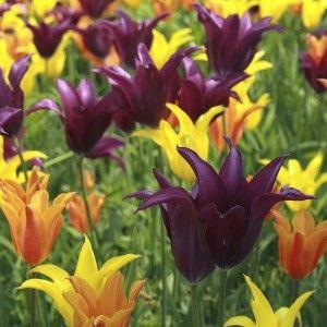 Tulpanlökar av liljeblommande tulpanerna West Point, Burgundy & Ballerina