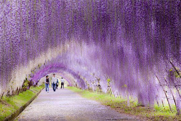 Nous connaissons la force des japonais pour la beauté et l'entretien de leurs jardins, voici un époustouflant exemple à Kitakyushu situé à 4 heures de Tokyo.  Ce tunnel de glycines est composé de 20 espèces différentes offrant au visiteur une plongée dans un univers magique et multicolore.