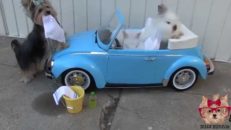 Misa Minnie Doggy Carwash  This is so cute I need to train Bella on tricks