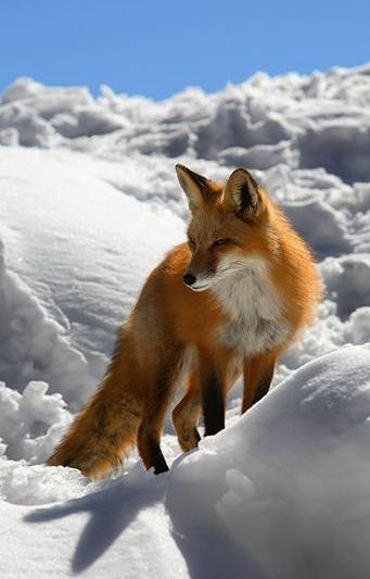 """In winter, red foxes (Vulpes vulpes) meet to mate. The vixen (female)"