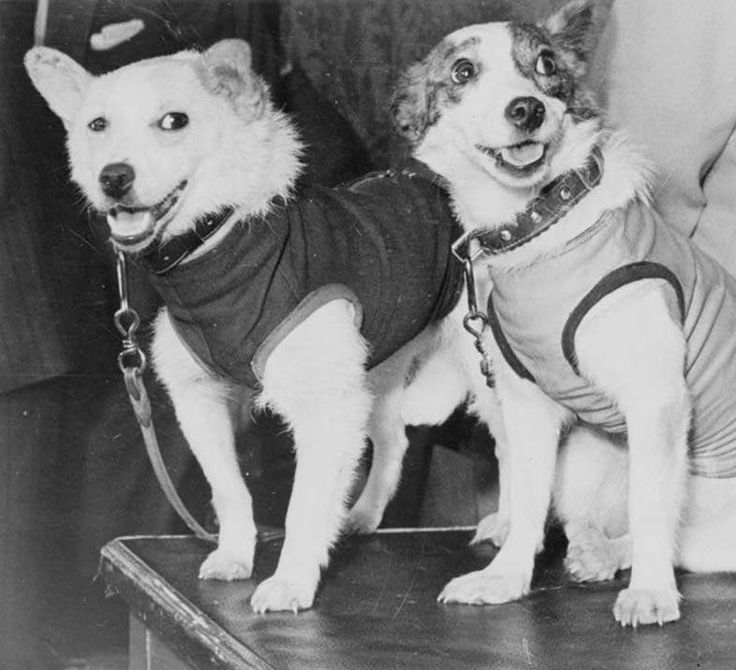 Belka and Strelka reporting for duty
