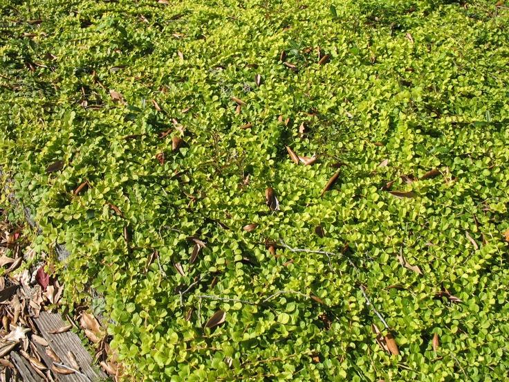 Lysimachia nummularia / creeping jenny for ravine bank