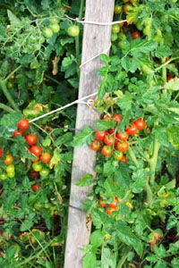 How to Grow Tomatoes Vegetable, Growing Tomato Plants Seeds Recipes