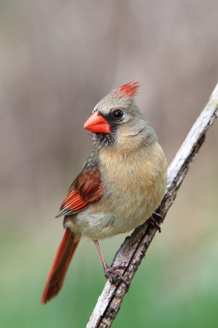43 best birds of massachusetts images on pinterest backyard