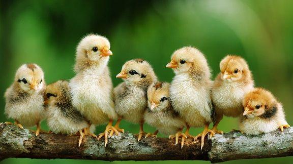 american chicken hatcheries directory