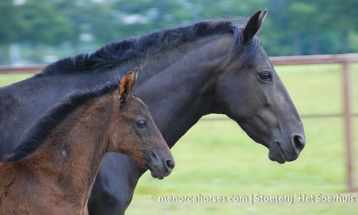 Ploma | Menorca Horses