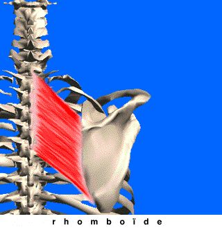 Le rhomboïde fait partie des muscles de l'épaule. C'est un muscle plat qui assure le rapprochement des omoplates et corrige le dos vouté