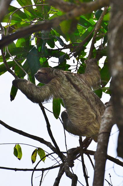 Sloth in Manuel Antonio - Costa Rica
