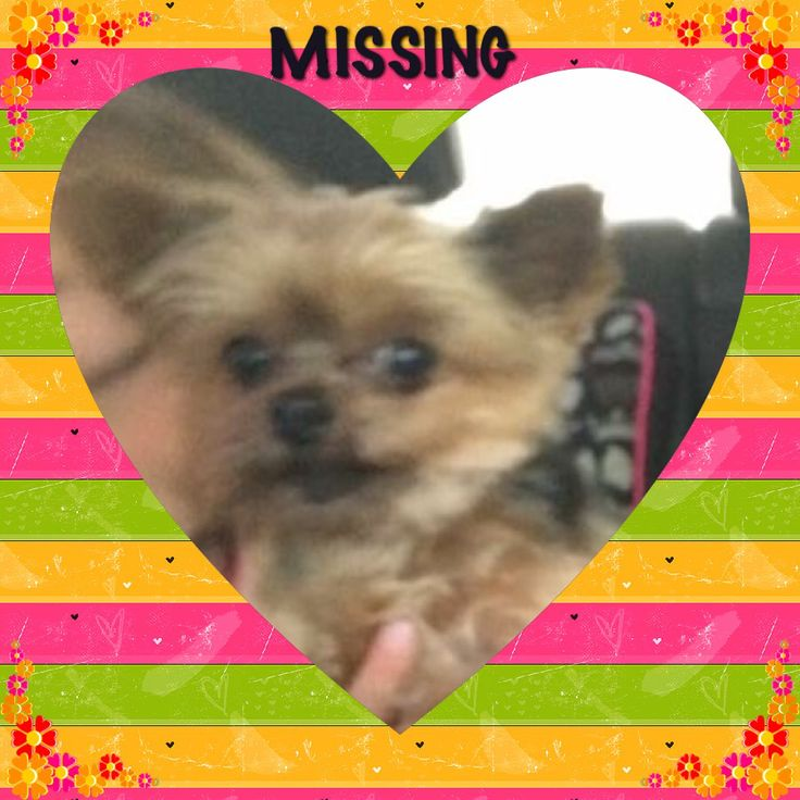 Missing Mia  I am a 5 year old female cup size yorkie, that have black hair on my back and tan color on my chest and legs. I have short ears and a short tail with no teeth. I got missing in Wychwood area Johannesburg. My mommy gives R8000 Reward for the person that takes me home. As I have a heart condition and need medicine.  Please help me to get home . Please phone mommy Melinda on 0721253337