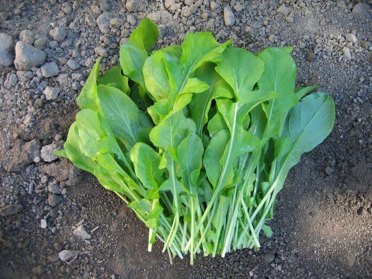 ARUGULA ROQUETTE ,ORGANIC Non GMO SEED,Fresh salad !