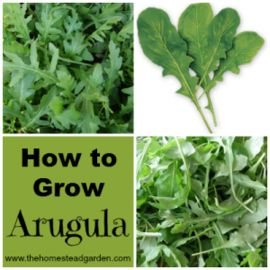 "How to Grow Arugula | The Homestead Garden: ""You do not have to be a professional gardener to grow Arugula. It is very hardy, very cheap, and grows very quickly."" 