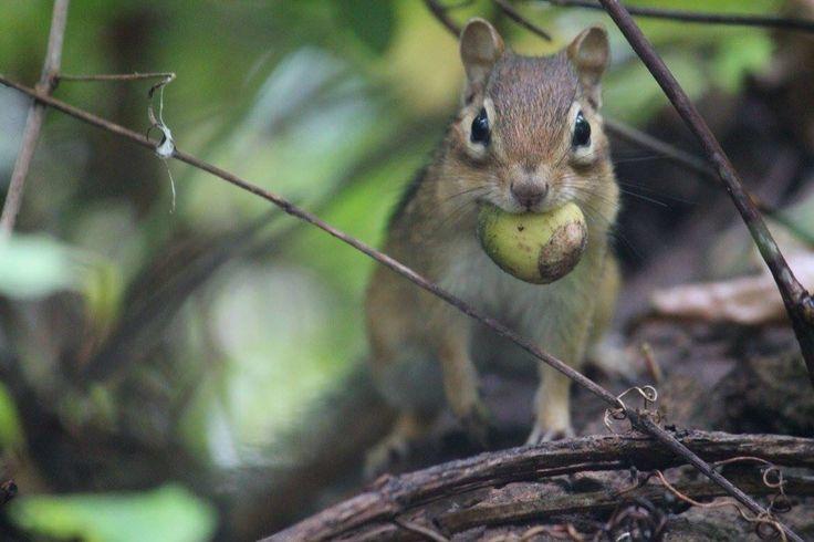 Chipmunk at Canatara Park