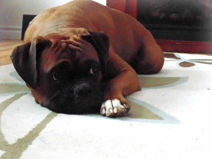 Purebred Boxer #Purebred #Boxer #Dog #Puppy #Brody #Cute #Male #Photography #Fireplace