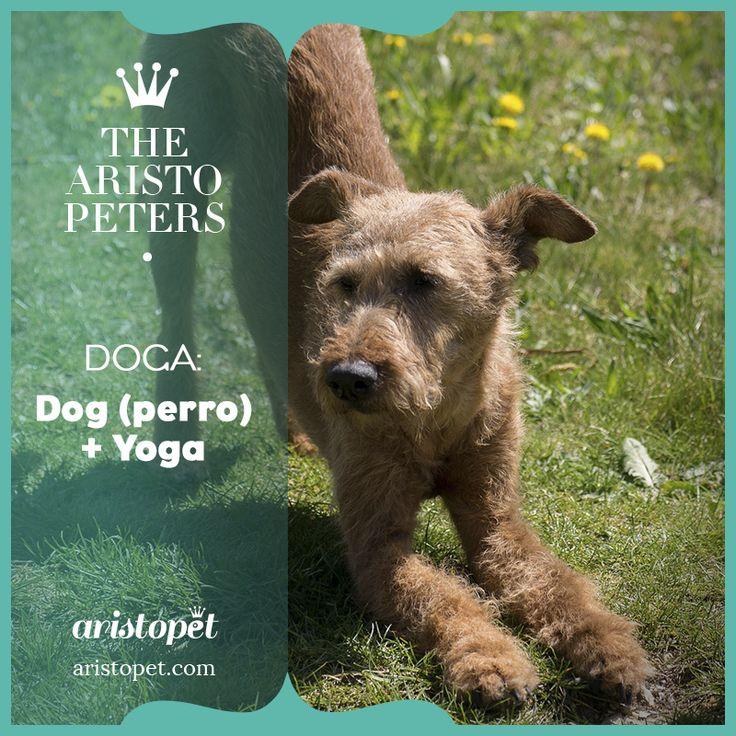 Hoy os hablamos de Doga, o en otras palabras: hacer yoga en compañía de tu perro. En esta modalidad de Yoga nuestro peludo estará en contacto con nosotros en todo momento de la práctica en un ambiente relajante, y sirviendo de apoyo lo involucremos a través de masajes, estiramientos y ejercicios pasivos. http://aristopet.com/aristopeters/doga/