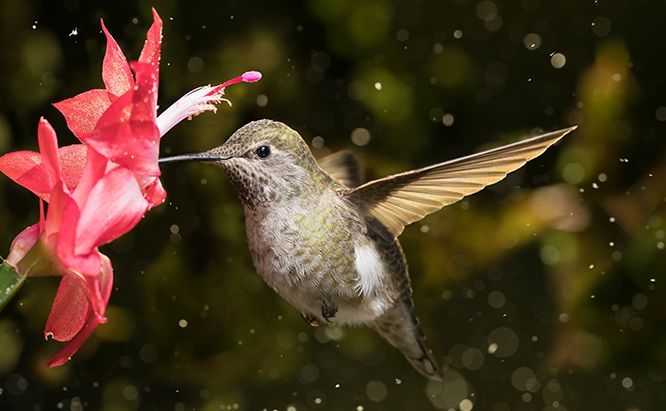 Do You Have Drifters How To Help Winter Hummingbirds In 2020 Hummingbird Hummingbird Art Snow Storm
